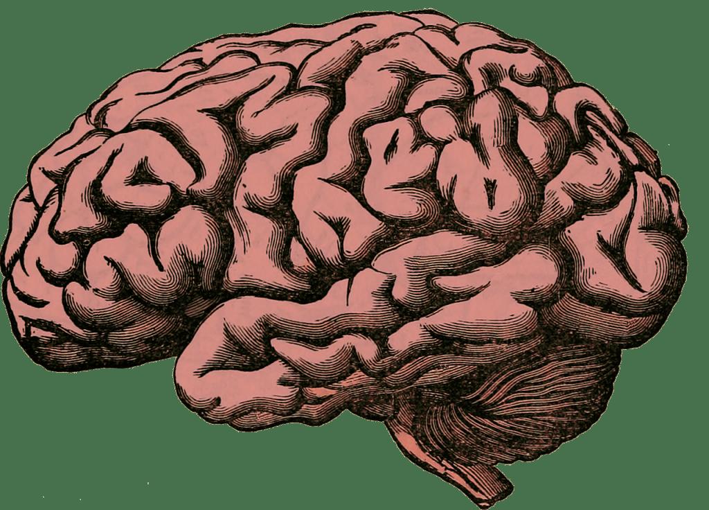 Zeichnung des Gehirns